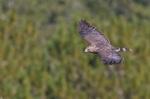 Broad-winged Hawk Hawk Ridge Duluth MNIMG_0027141