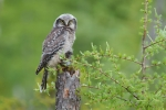 Northern Hawk Owl juvenile w-vole Superior Natl Forest Lake Co MNIMG_0021469