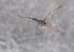 Northern Hawk Owl hover Sax-Zim Bog MN_3008292(1)