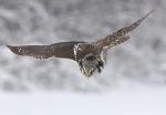 Northern Hawk Owl hunt Sax-Zim Bog MN_3008293CROP