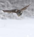 Northern Hawk Owl hunt Sax-Zim BogMN_3008293