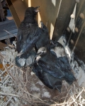 Common Raven nest 5 young nr Esko Carlton Co MNIMG_0036579