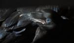 Common Raven ready-to-fledge juvenile blue eyes nr Esko Carlton Co MNIMG_0036568