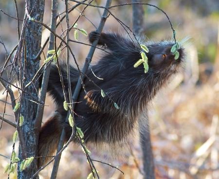 Porcupine Spring Snack