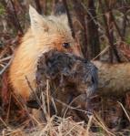 Red Fox with Muskrat Nichols Lake Rd Sax-Zim Bog MNIMG_0019964