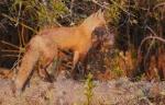 Red Fox with Muskrat Nichols Lake Rd Sax-Zim Bog MNIMG_0019972