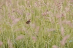 LeConte's Sparrow Sax-Zim Bog MNIMG_0039497