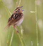 LeConte's Sparrow Sax-Zim Bog MNIMG_0039611