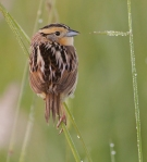 LeConte's Sparrow Sax-Zim Bog MNIMG_0039628