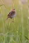 LeConte's Sparrow Sax-Zim Bog MNIMG_0039632
