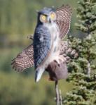 Northern Goshawk juv Hawk Ridge Duluth MNIMG_0049862