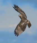 Red-tailed Hawk juv. Hawk Ridge Duluth MNIMG_0049935