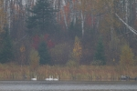 Trumpeter Swans fall colors Spring Lake Carlton Co MNIMG_0050986
