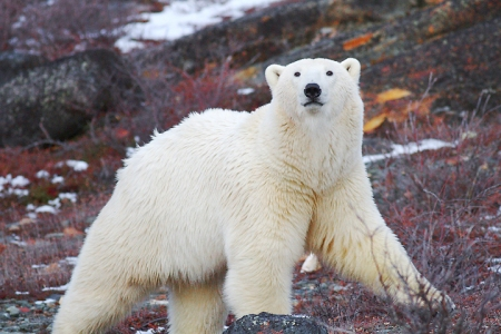 Polar Bears in Churchill: My lens was there!