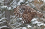 Great Gray Owl flying near Meadowlands MNIMG_0032201