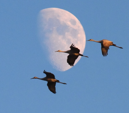 Late-season Cranes at Crex Meadows