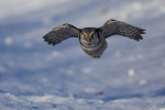 Northern Hawk Owl Sax-Zim Bog MN IMG_0032131(1)