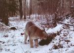 Bobcat Minnesota Bushnell TrophyCam