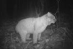Bobcat Minnesota night Bushnell TrophyCam