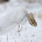 Snowshoe Hare feet Sax-Zim BogIMG_0002042