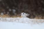 Snowshoe Hare Sax-Zim Bog MNIMG_0002116