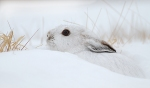 Snowshoe Hare Sax-Zim Bog MNIMG_0002192
