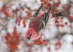 03-Pine Grosbeak Wrenshall MN IMG_8572(2)