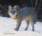 Gray Fox reduced 2 Karl Bardon (1)