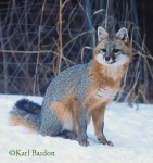 Gray Fox reduced Karl Bardon(1)