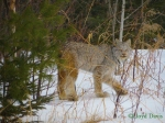 Lynx Lloyd Davis Lake Co MN w-copyright