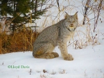 Lynx2 Lloyd Davis Lake Co MNw-copyright