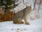 Lynx2 Lloyd Davis Lake CoMN