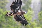 Bald Eagle from firetower at Big Bog SRA Koochiching Co MNIMG_0055772
