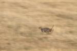 Sharp-tailed Grouse Carlton Co MNIMG_0056052