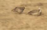Sharp-tailed Grouse Carlton Co MNIMG_0056136