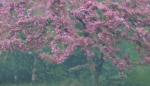 Flowering crab through rainy windshield Park Point Duluth MNIMG_0057292