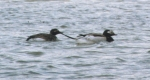Churchill MB Long-tailed Ducks134