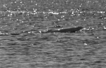 Churchill scan—Beluga Whale