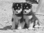 Churchill scan—sled dogpuppies