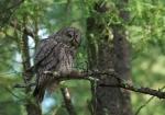 Great Gray Owl McDavitt Rd Sax-Zim Bog MNIMG_0058168