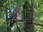 Great Gray Owl McDavitt Rd Sax-Zim Bog MNIMG_0058178