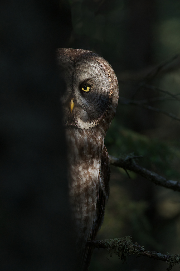 Great Grey Owl, Sax-Zim Bog, Minnesota