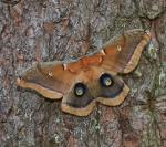 Polyphemus Moth Antheraea polyphemus Skogstjarna Carlton Co MNIMG_0057748