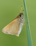 European Skipper (Thymelicus lineola) Carlton Co, MN_MG_6754