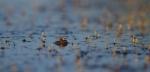 frog Tobin-Kimmes Wetlands Douglas Co WIIMG_0060707
