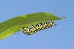 Monarch, Caterpiller SS