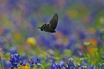 Swallowtail flying (Sh) 903_0351 copy(1)