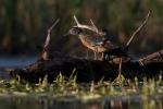 Wood Duck juveniles Tobin-Kimmes Wetlands Douglas Co WIIMG_0060697