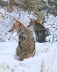 Coyote Pair Yellowstone585_8557