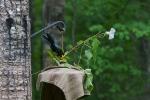 hummingbird feeder Morning Glory set up SkogstjarnaIMG_0059916